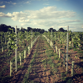 Dunesforde Vineyard